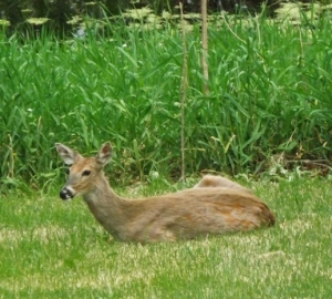 deer in sun